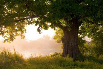 Oak trees UK
