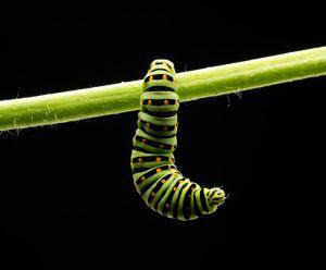 caterpillar garden
