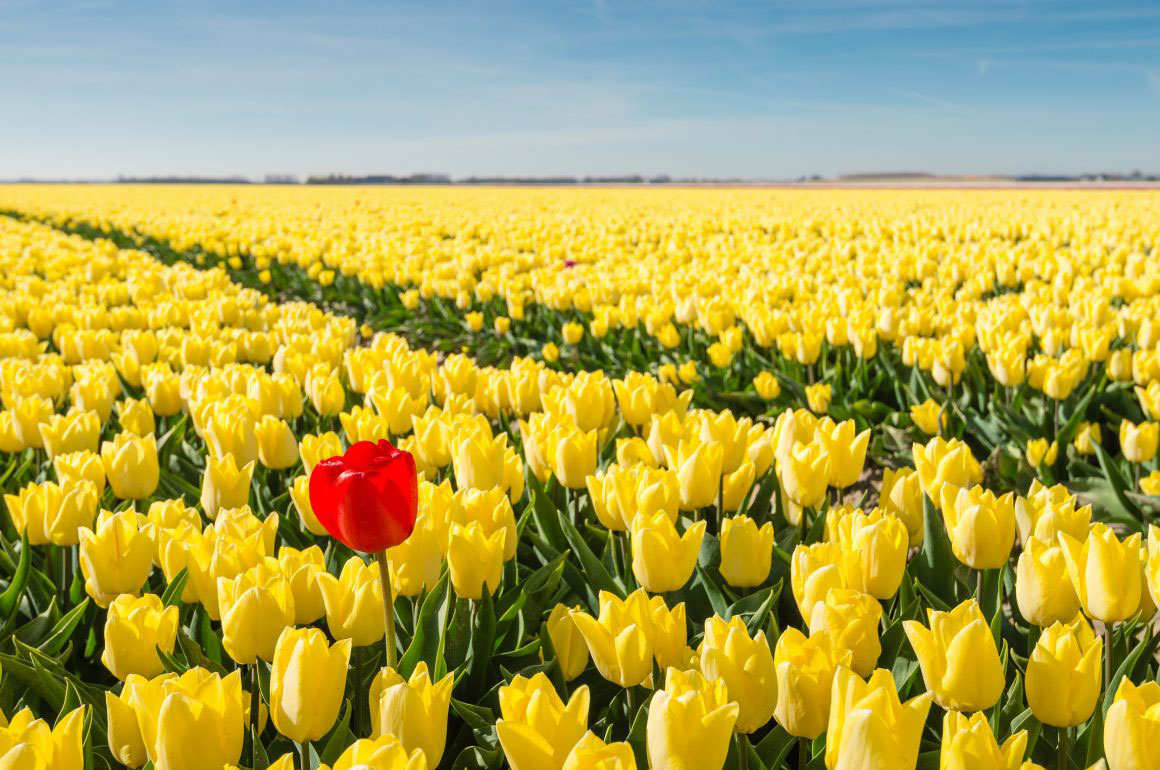 a field of yellow tulips with one red tulip