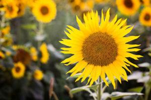 Grow sunflowers in your garden