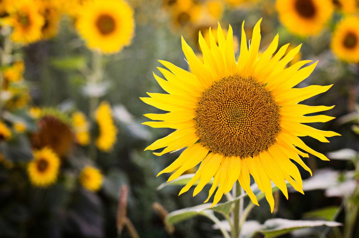 Sunflower Bird Feeder Featured Image