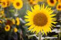 Family Fun – Sunflower Bird Feeder
