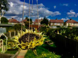 Sunflower Bird Feeder - Family Fun