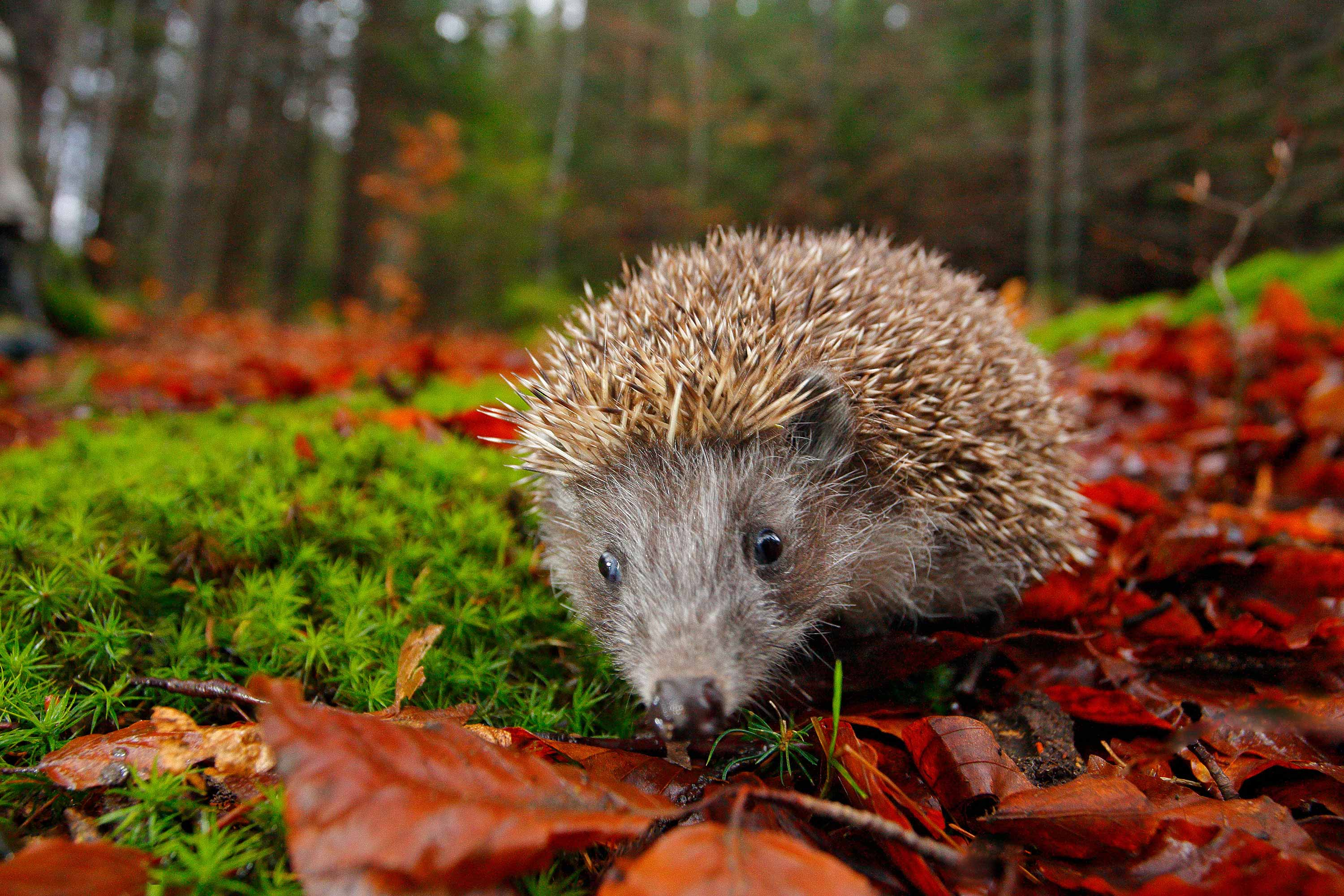 How To Look After A Hedgehog In Your Garden