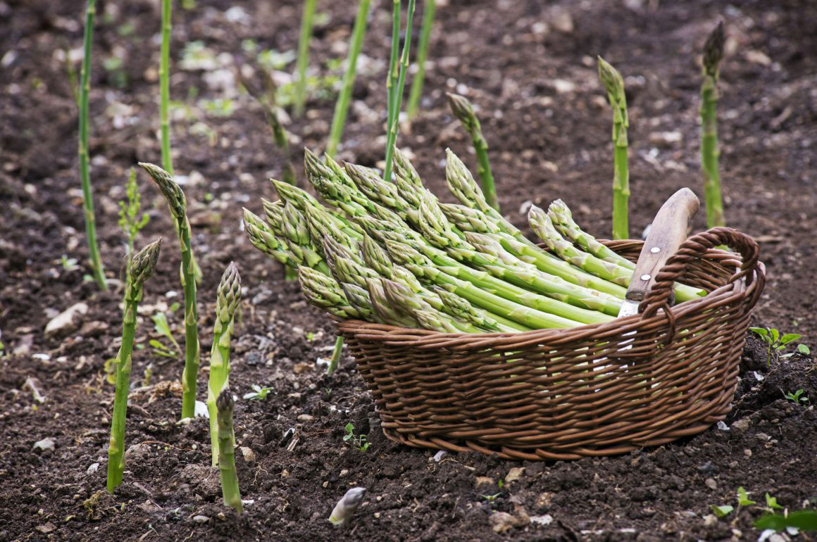 planting asparagus in your vegetable patch