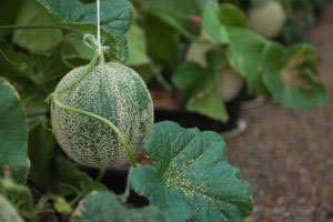 Melons Growing In Greenhouse