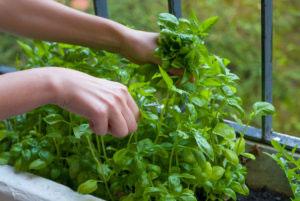 Herbs Growing On A Balcony