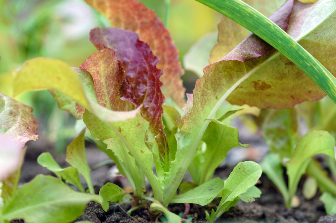 Salad Leaves Growing - Allotment Tips