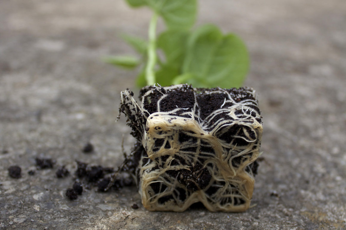 Plug Beans Roots Closeup