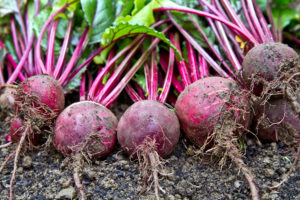 Freshly harvested organic beetroots laying on the ground soil. Beetroots.