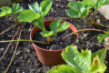 A guide to making the most of your home-grown strawberries
