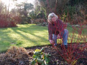 Jane Moore Pruning Cornus