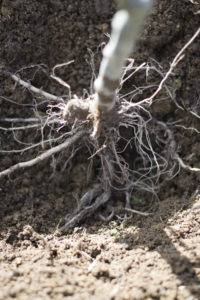 Roots of an Apple Tree