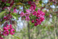 The five best trees to plant in small gardens