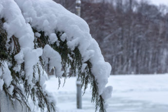 Snow on Conifers