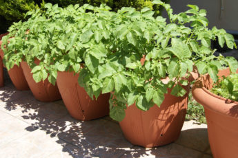 Potato Plants In Pots