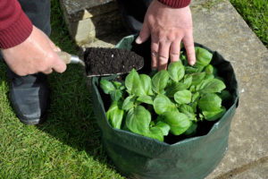Topping up Potatoes with compost