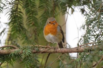 A robin perched on a fir tree