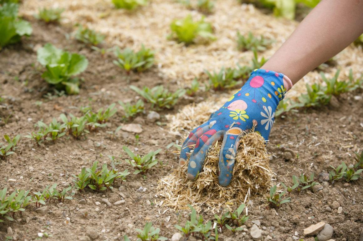 Gardener spreading a straw mulch around plants