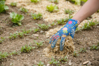 Gardener spreading a straw mulch around plants
