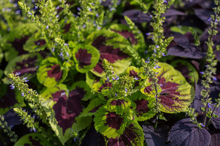 plant coleus flower as part of your july gardening jobs