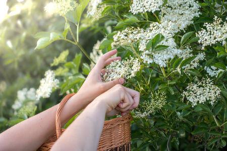 elderflower plant