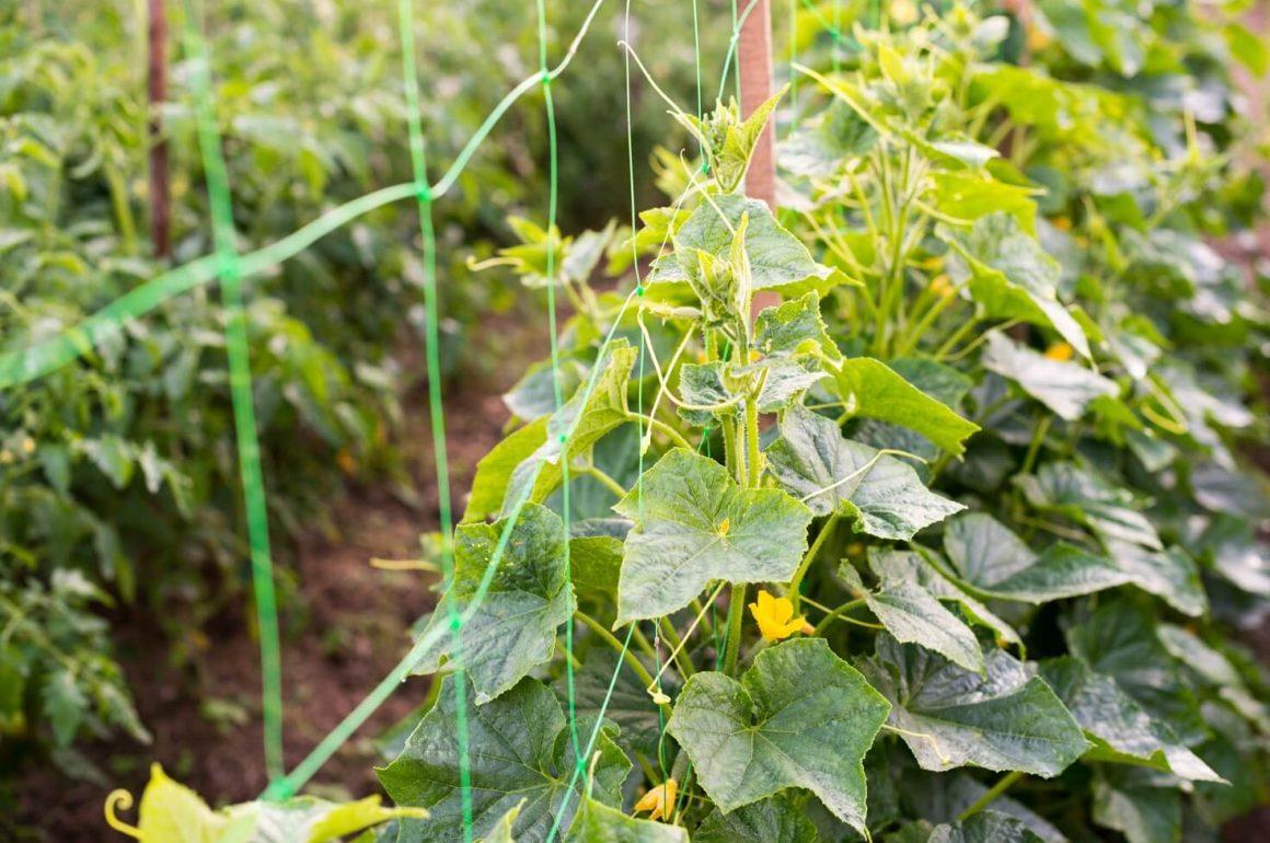 Climbing plant on netting