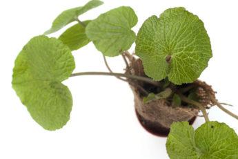Wasabi Spice Plant