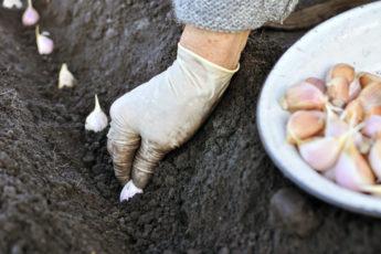 farmer planting garlic in the vegetable garden