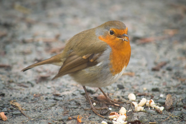 Robin eating nuts in autumn