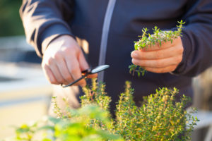 gardener picking thyme leaves on balcony