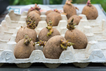 early potatoes are great for growing in your garden in January