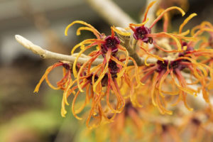 The Hamamelis x intermedia flower is a great addition to your January garden