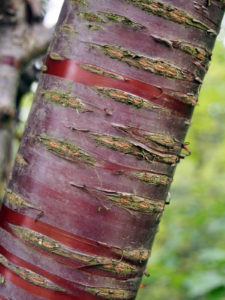 The Prunus serrula Tibetan cherry is great to plant in January