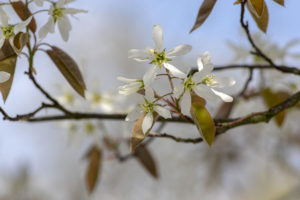 March tree of the month, amelanchier lamarckii juneberry