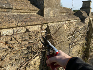 Pruning wisteria with secateurs