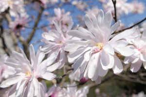 Magnolia stellate flower of the month