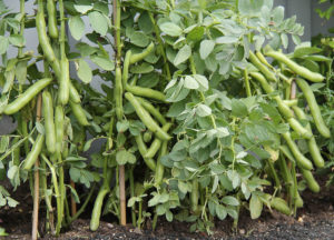 March vegetable of the month, broad beans