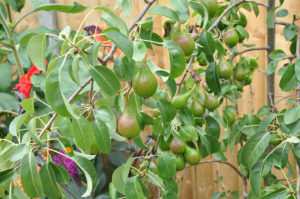 Dwarf pear tree in plant pot