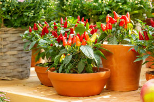 Chilli plant growing in pot