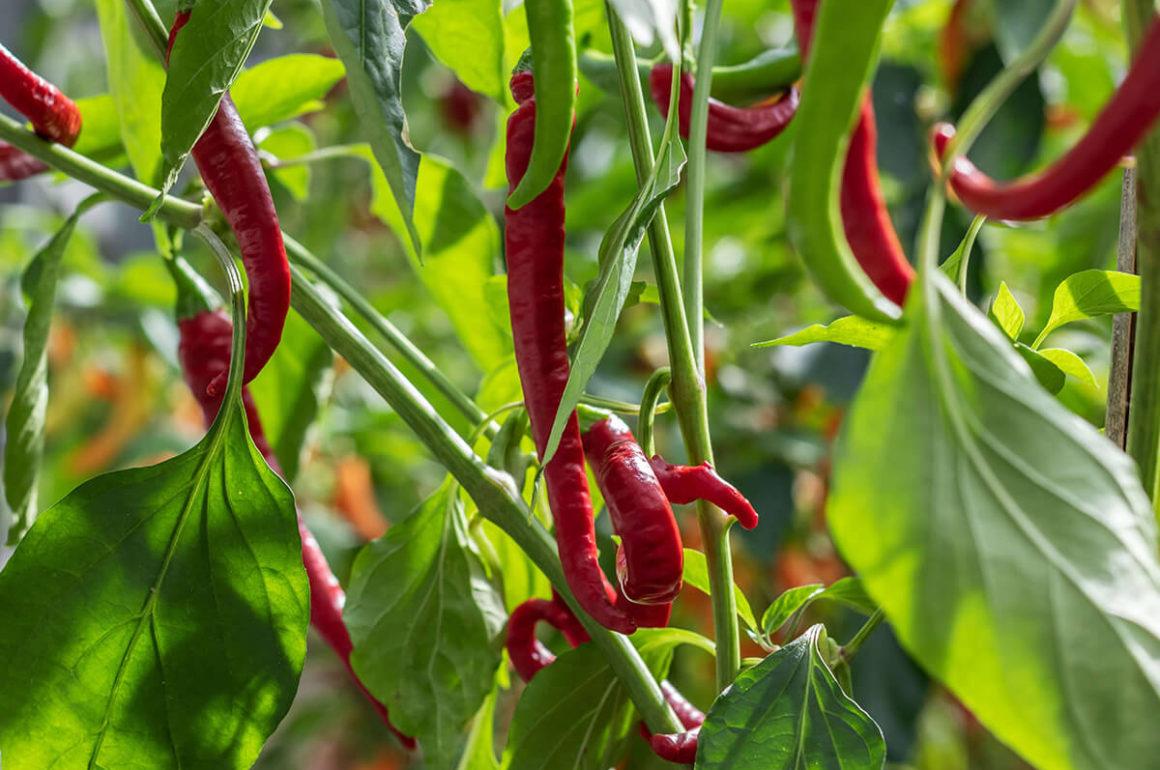 Close up Chilli plant