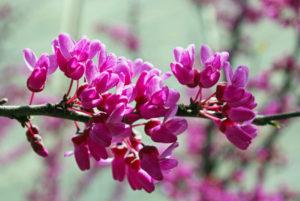 Pink Judas Tree
