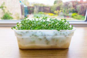 Cress Growing in Tub On Windowsill