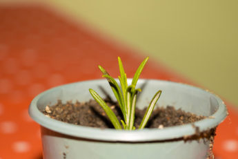 how to take softwood cuttings