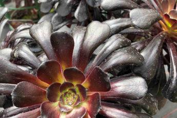 Aeonium Zwartkop flower