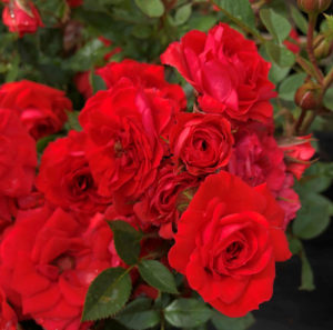 Plant Roses in August