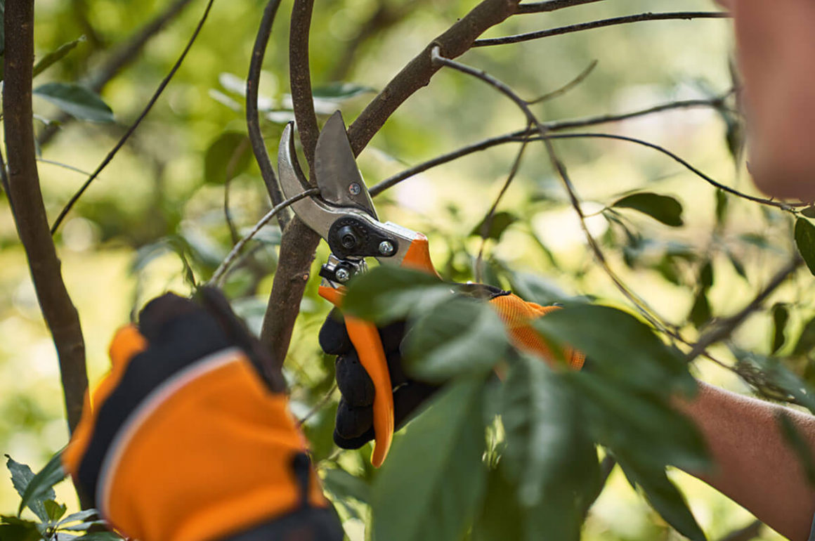 PG 10 secateurs in use