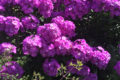The Top Five Plants For Late Summer Colour