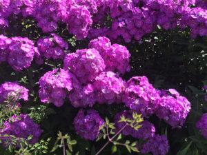 Phlox flower in bloom