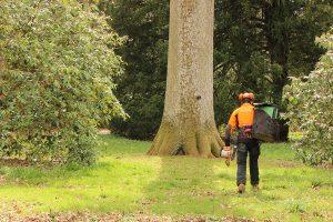 arborist with STIHL chainsaw